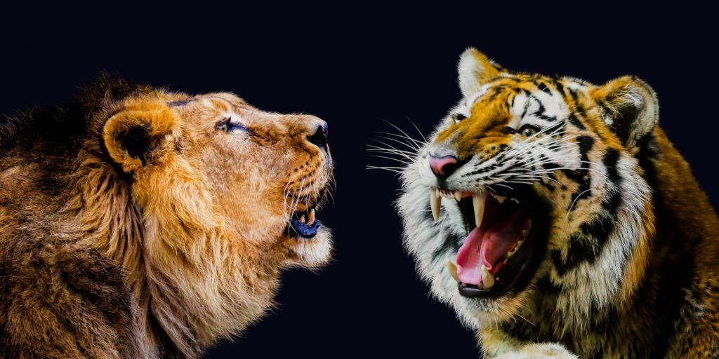 Tiger Löwe Konkurrenz
